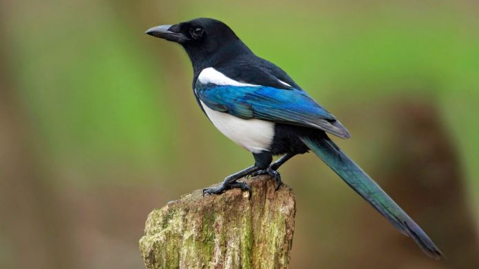 Сорока фото птицы