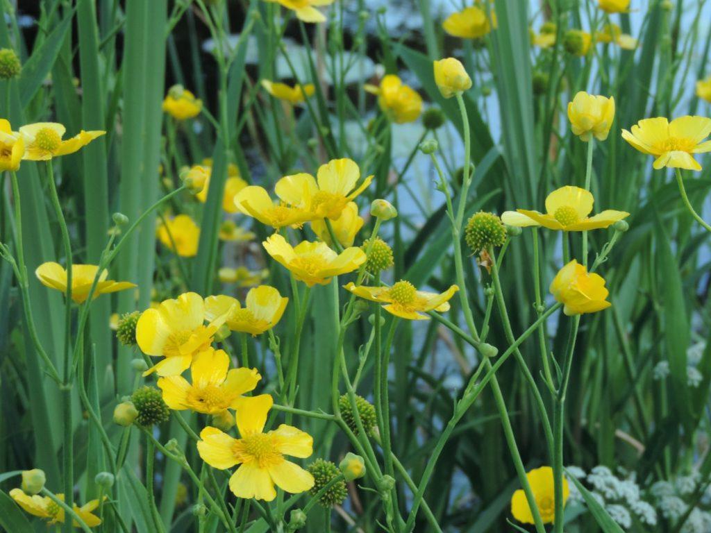 Биологические действия болотоцветника щитолистного