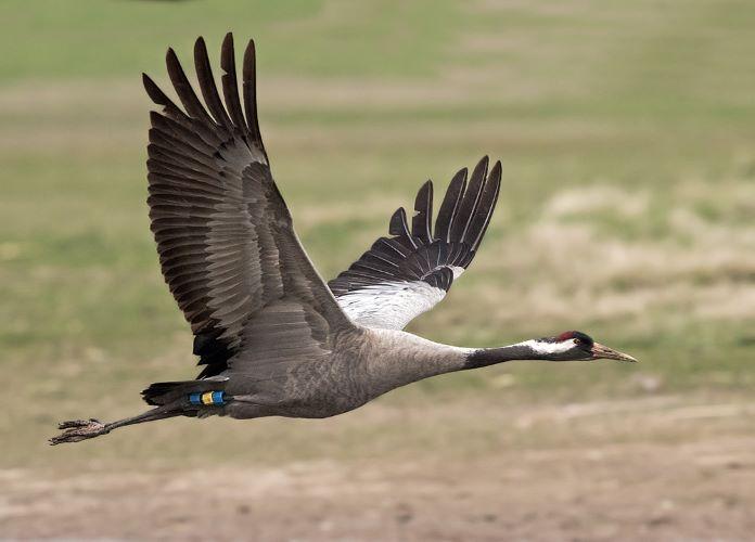 Птица серый журавль