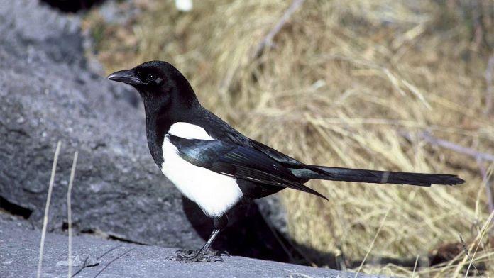 Сорока чудо птица