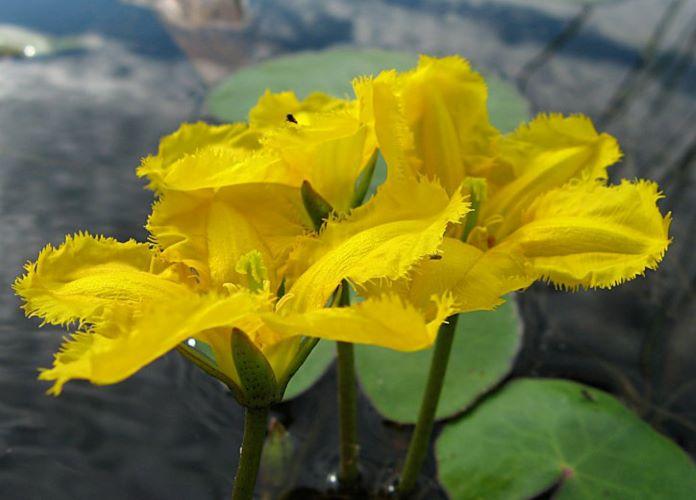 Болотноцветник щитолистный растения +для водоемов