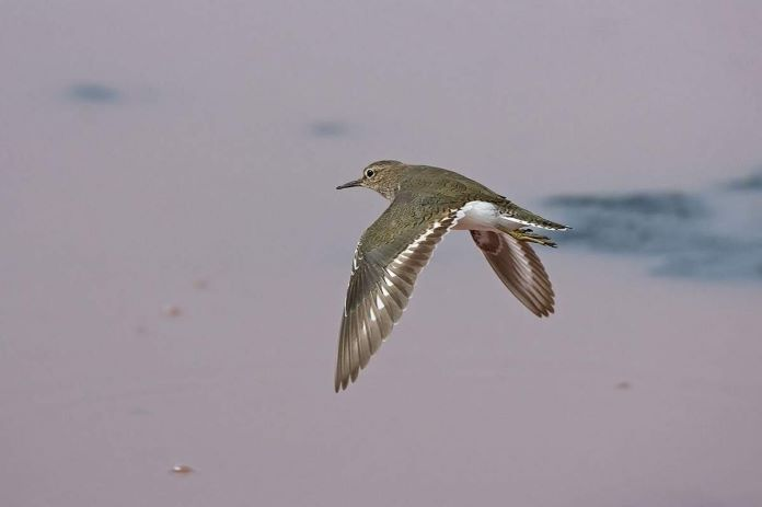 Кулик перелетная птица