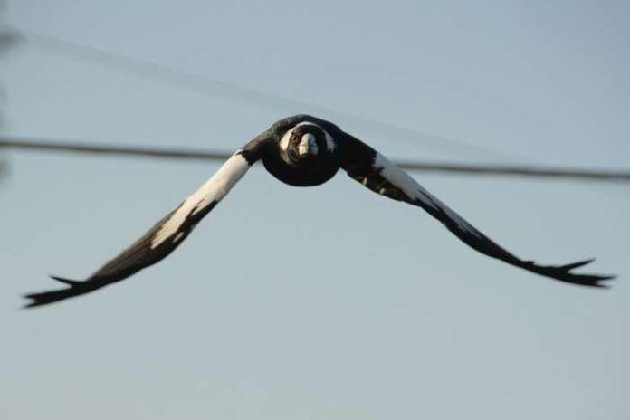Птица сорока приметы