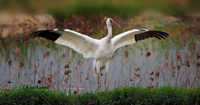 птица журавль крылья