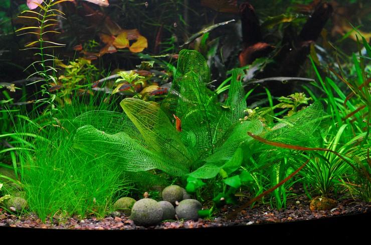 Апоногетон аквариумное растение фото