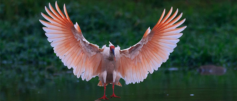 Крылья ибисов