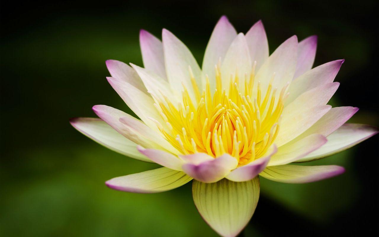 Лотос древний цветок