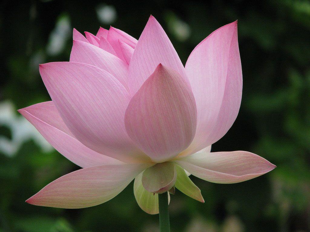 Цветок лотоса картинки