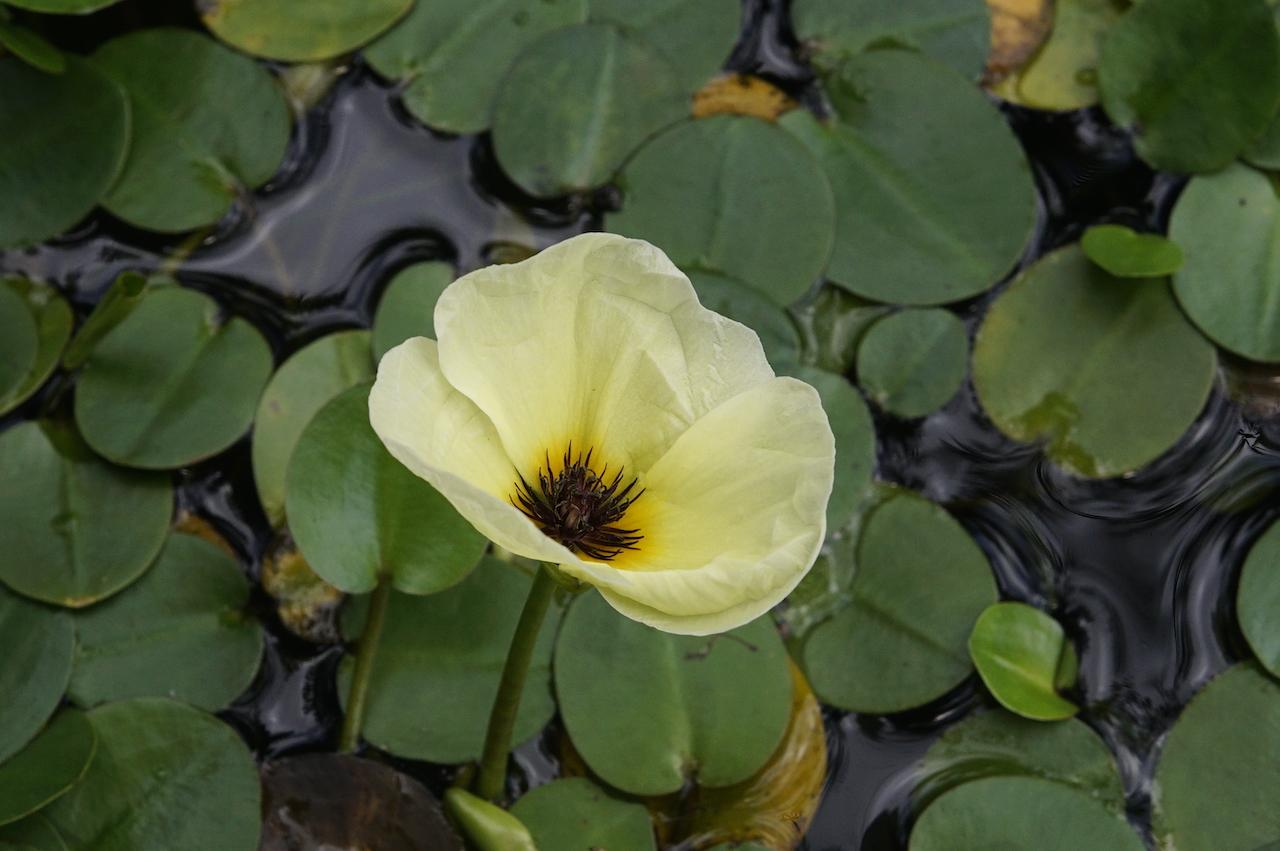 Гидроклеис кувшинковый растения для водоемов