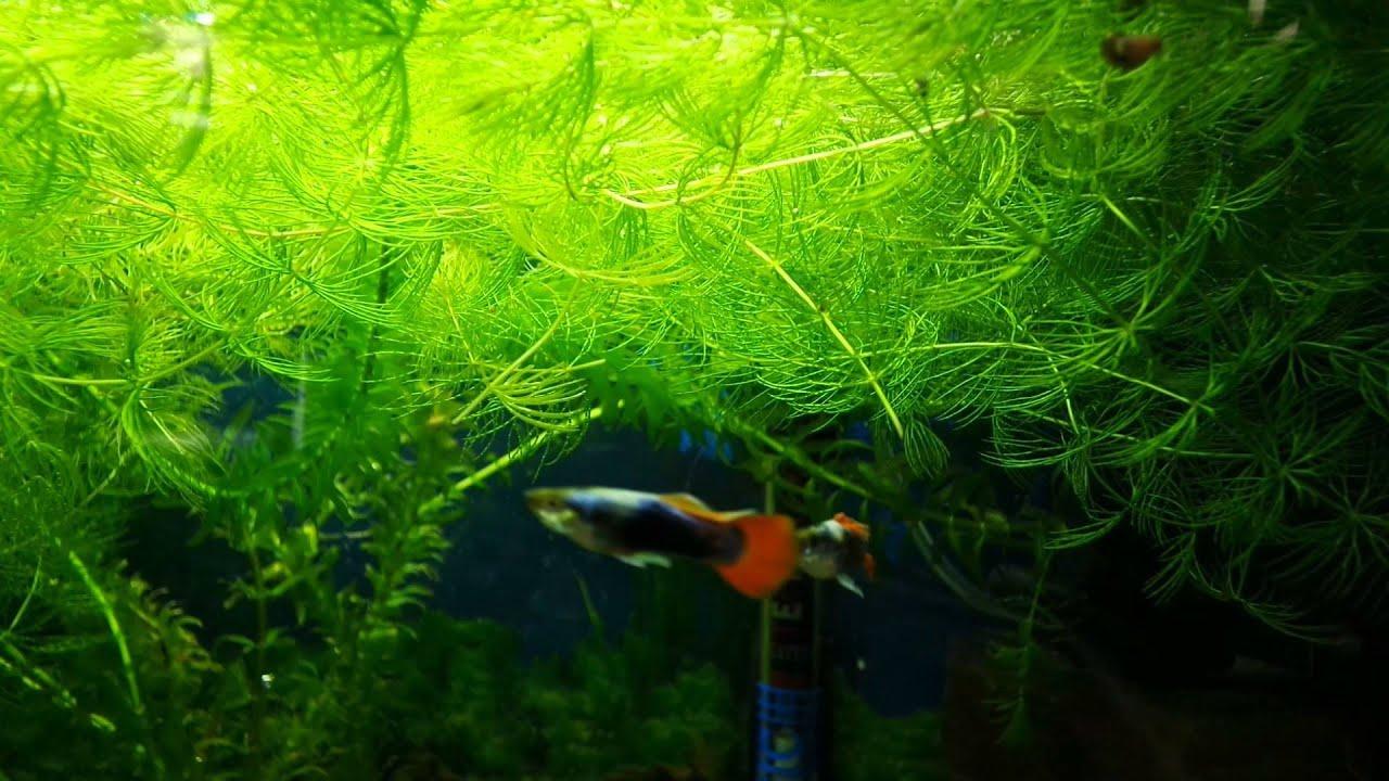 Роголистник аквариумное растение