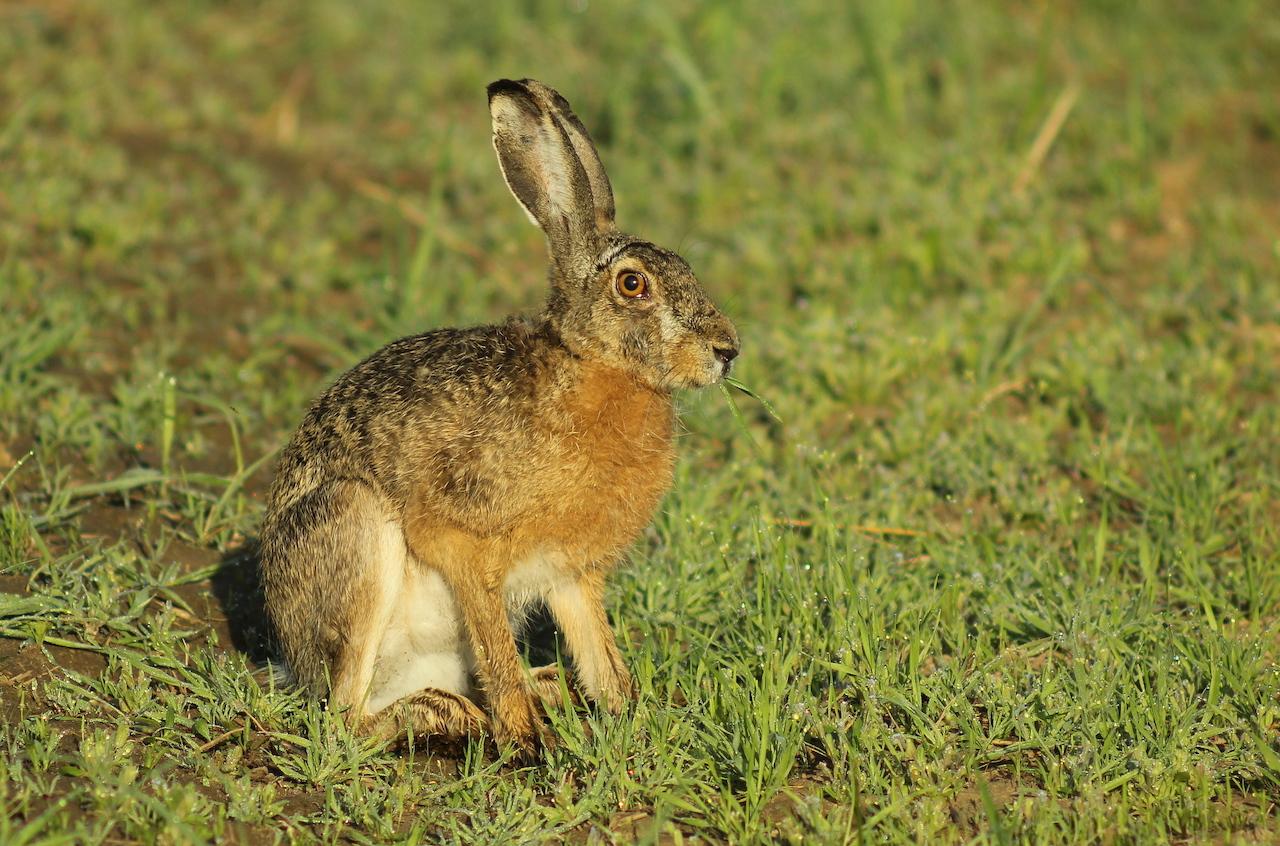 Образ жизни зайца-русака