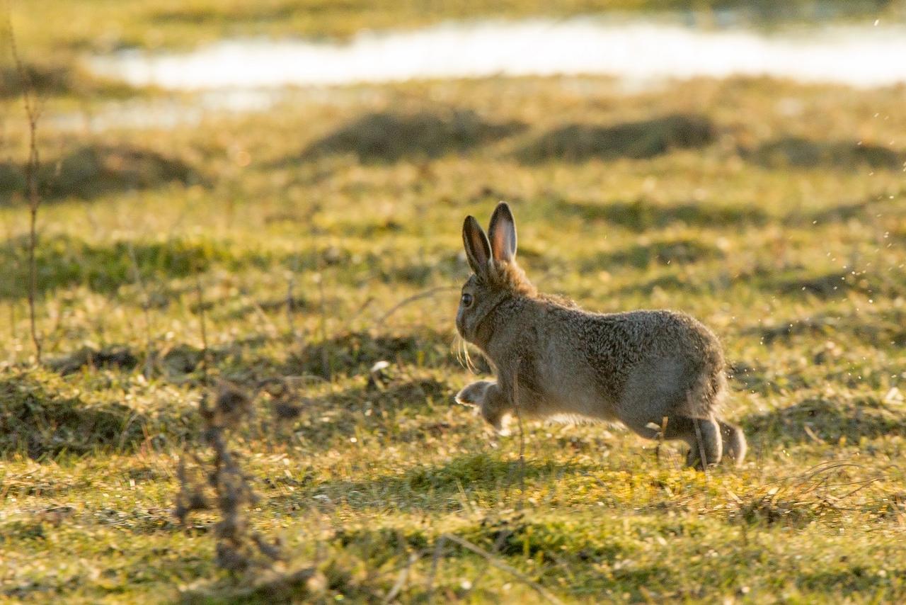 Ареал обитания зайца-русака