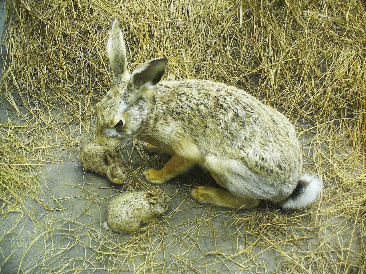 Размножение зайца-русака