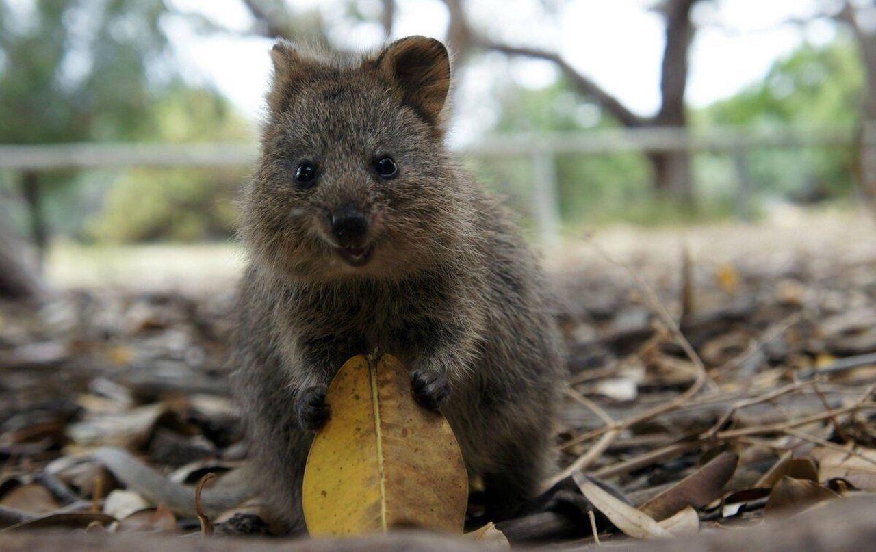 Австралийское животное квокка