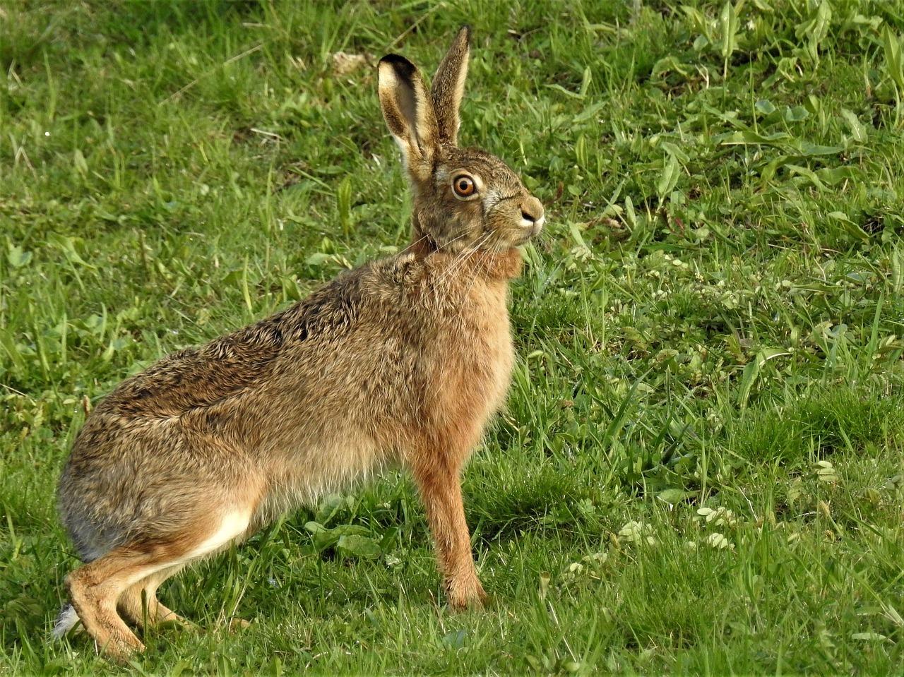 Чем питается заяц-русак