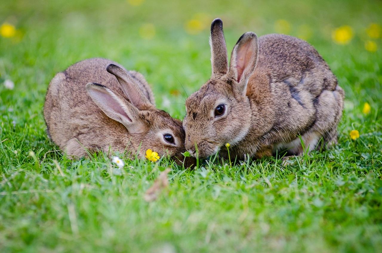 Размножение зайца-беляка