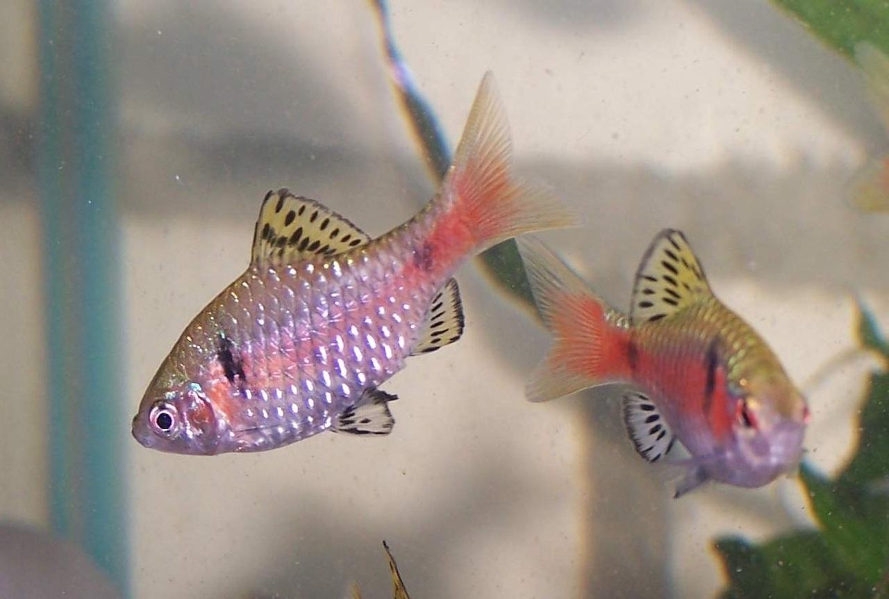 Рыбка барбус алый