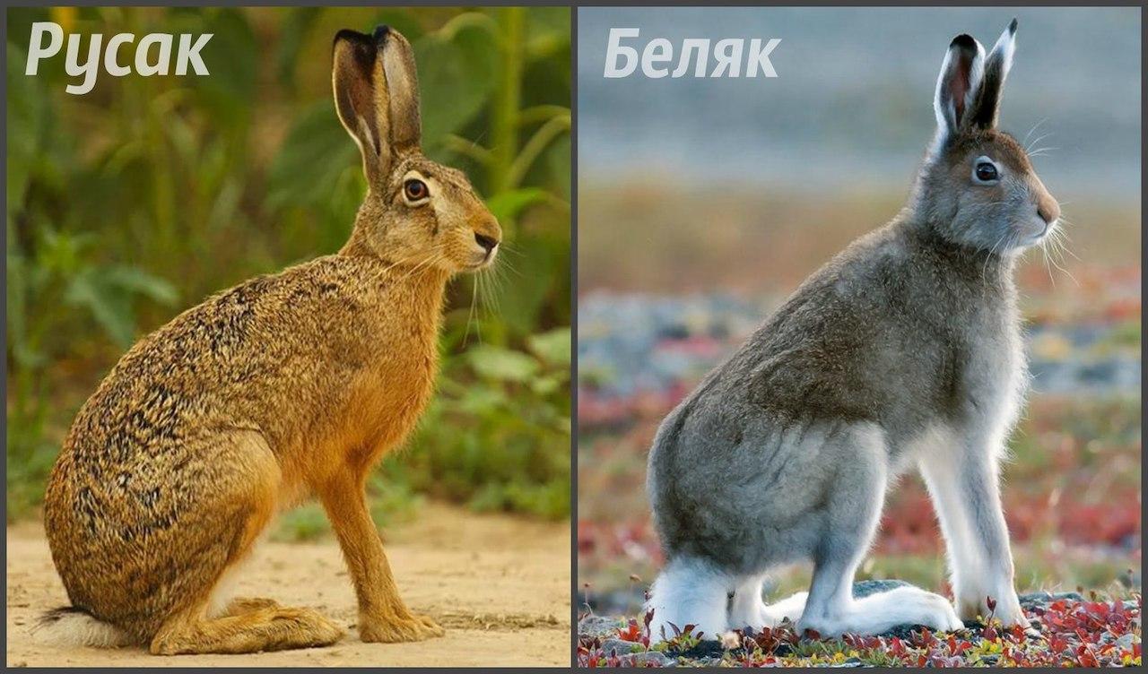 Сходства и различия заяц беляк