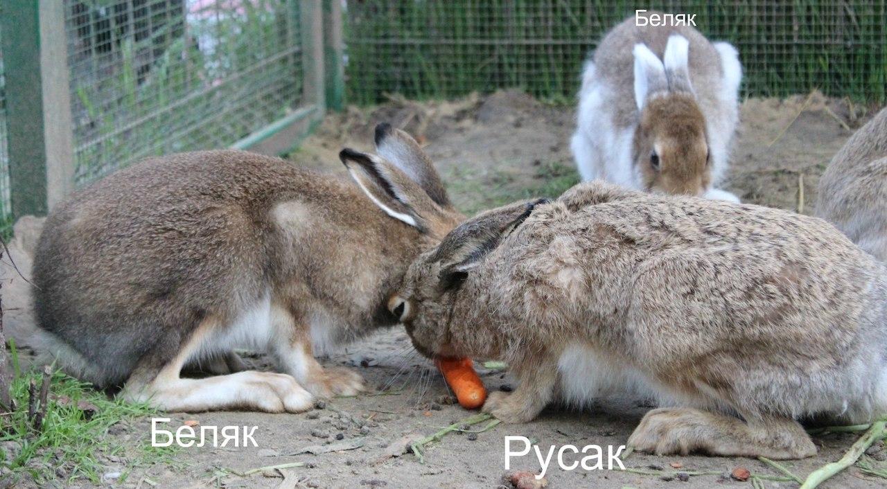 Чем различаются зайцы беляк и русак