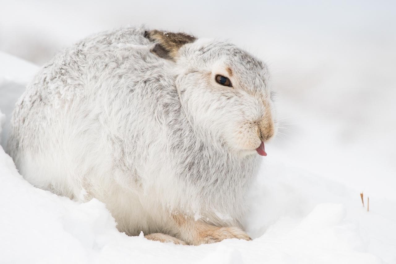 Заяц-беляк в Красной книге