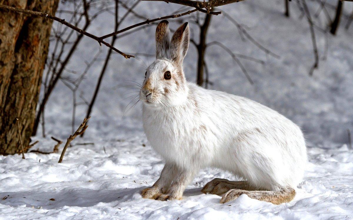 Среда обитания зайца-беляка