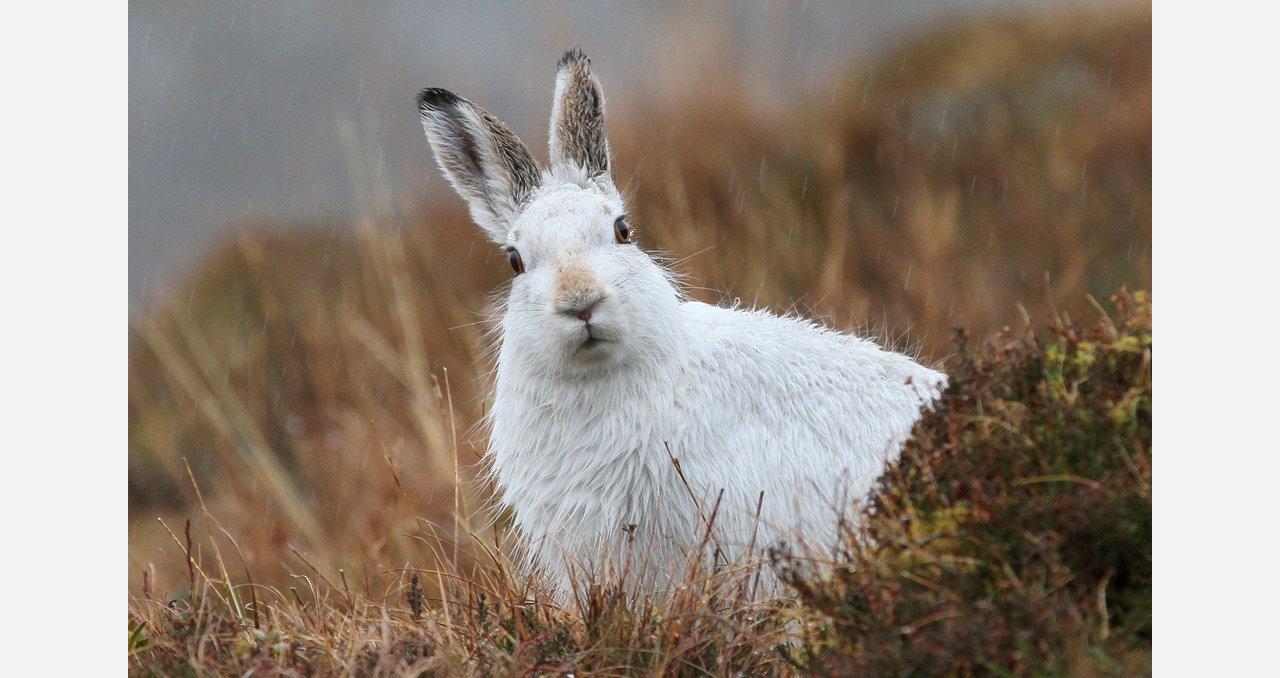 Где обитает заяц-беляк