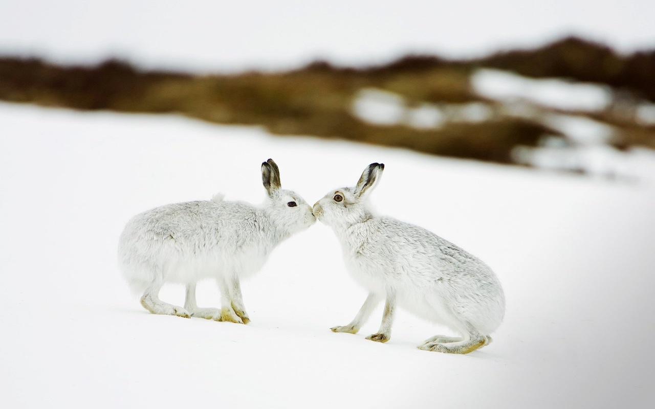 Самка и самец зайца-беляка