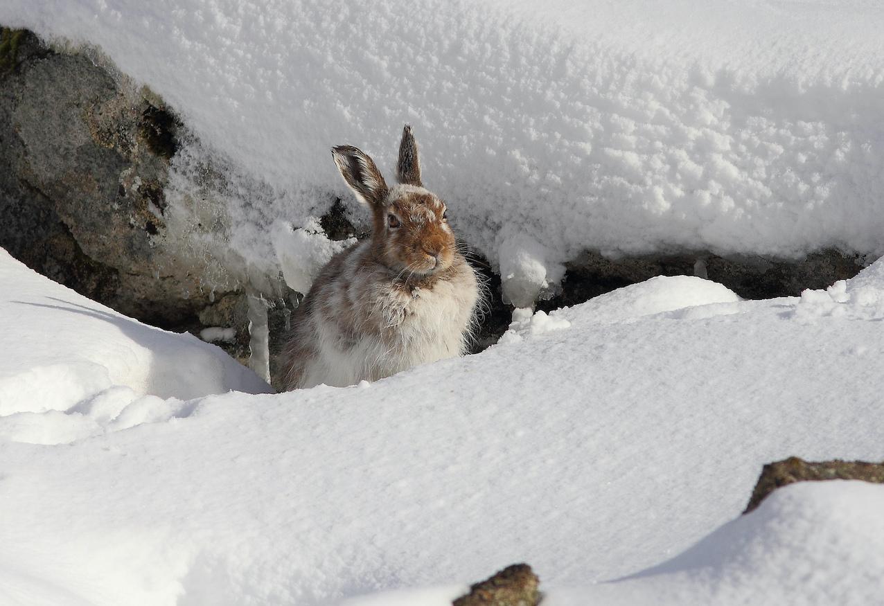 Заяц-беляк на снегу