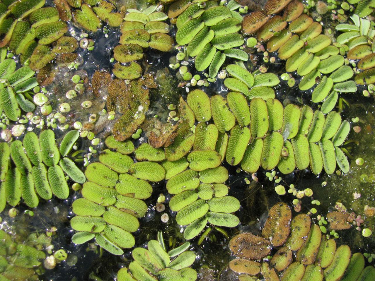 Растения сальвиния