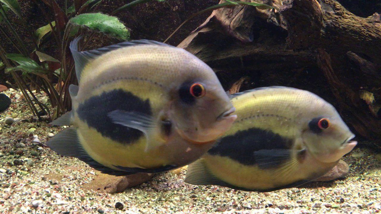 Рыбка уару чернопянистый