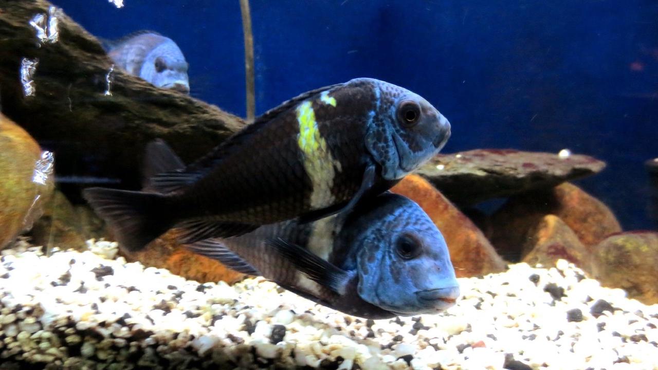 Рыбки трофеус звездчатый
