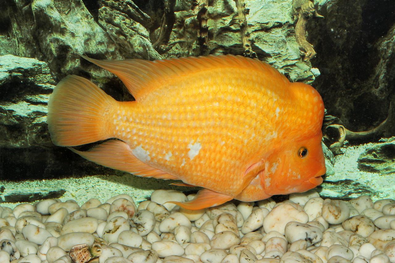 amphilophus citrinellus