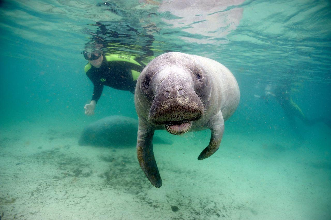 Морское животное ламантин