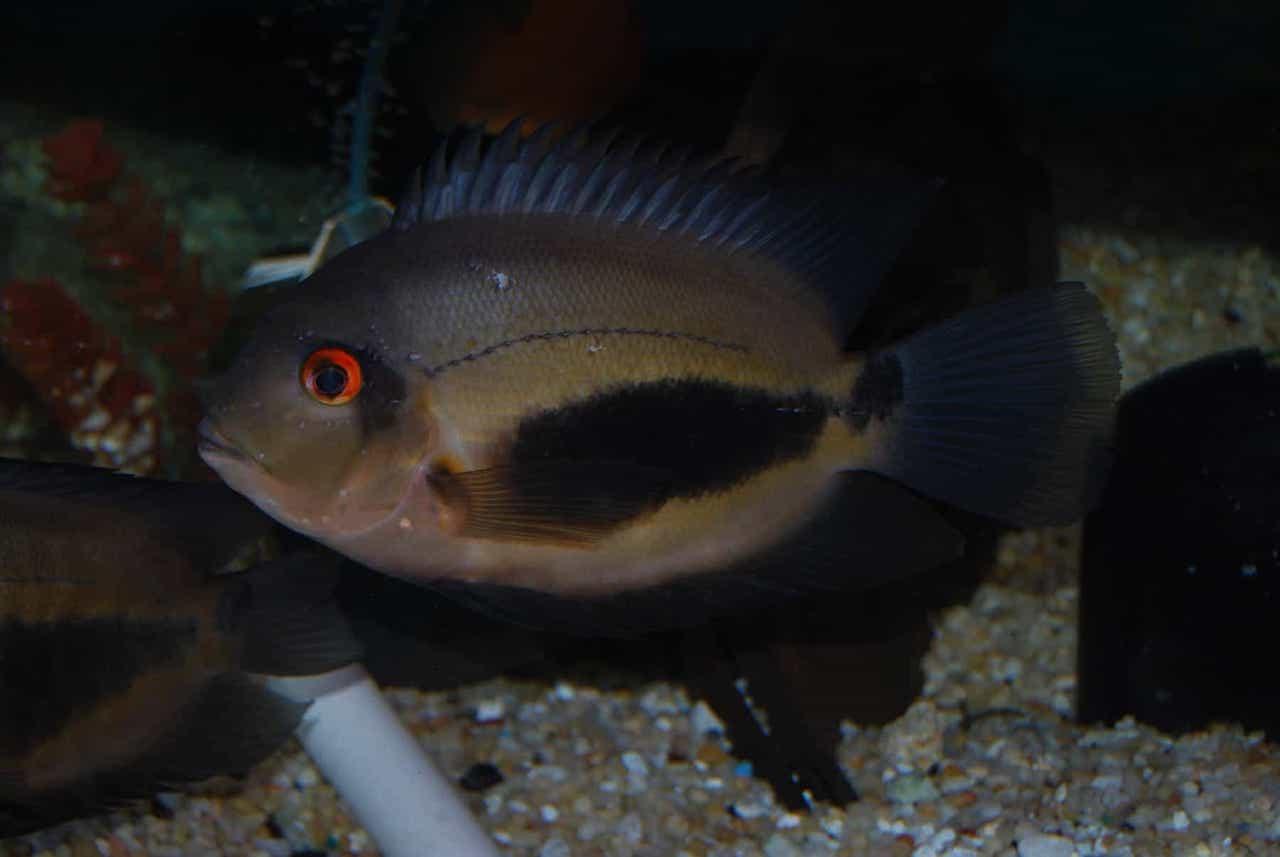 Аквариумная рыба уару чернопятнистый