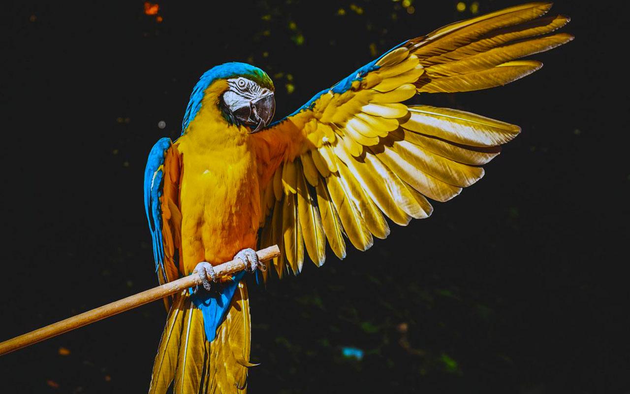 Обои птицa, Сине-жёлтый ара, Попугай. Животные foto 17