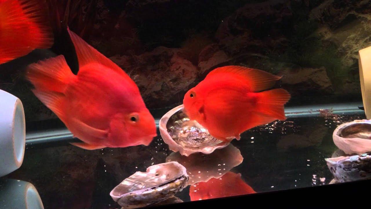 Красный попугай рыба
