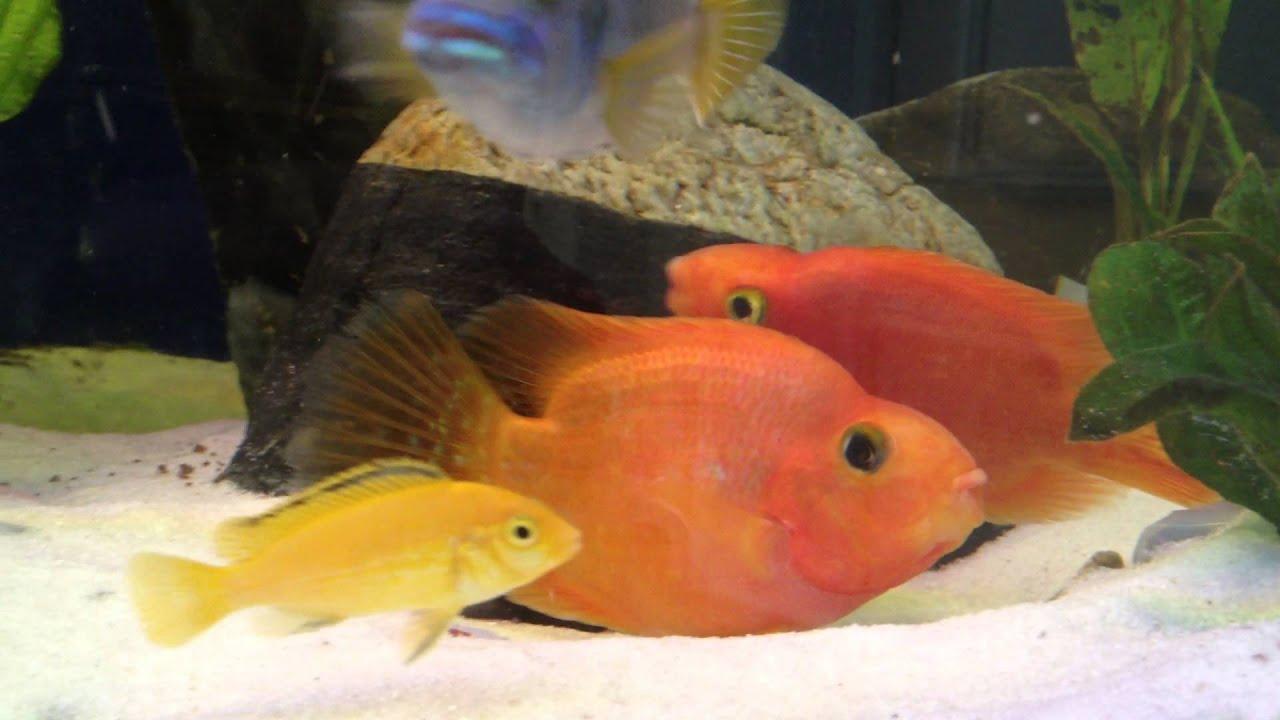 Красный попугай рыба содержание