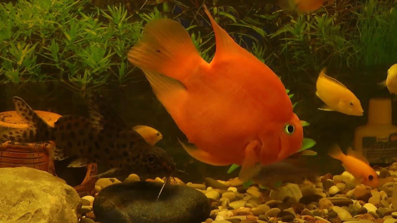 Красный попугай рыба совместимость