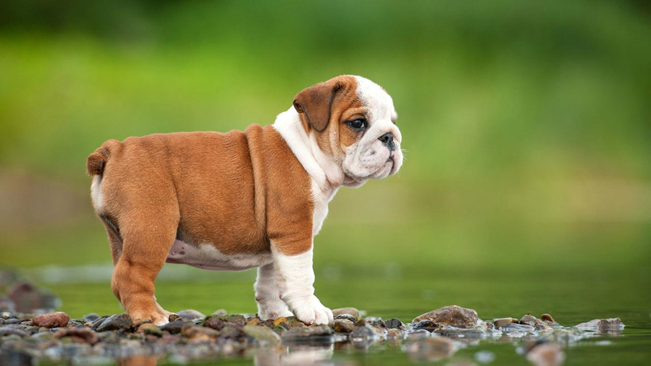 Одинокйи щенок английского бульдога