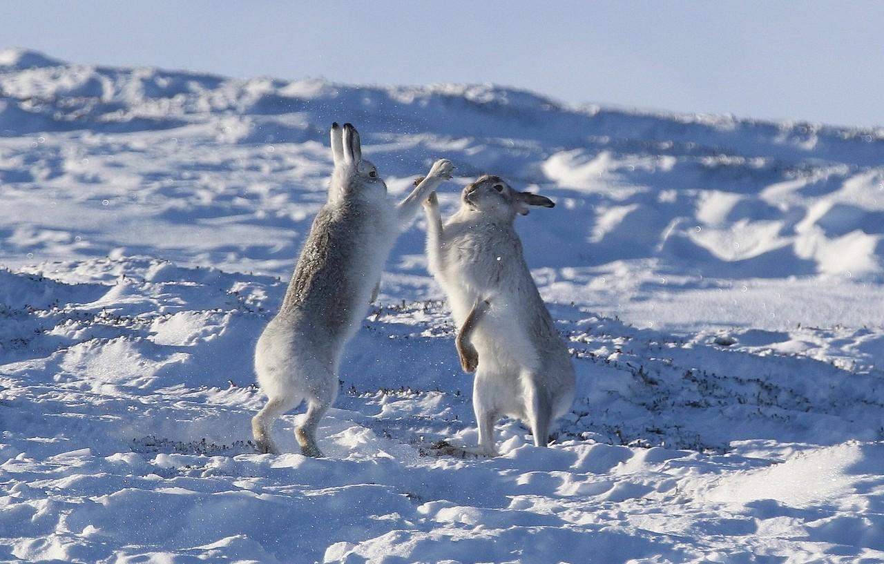 Зайцы-беляки дерутся за самку