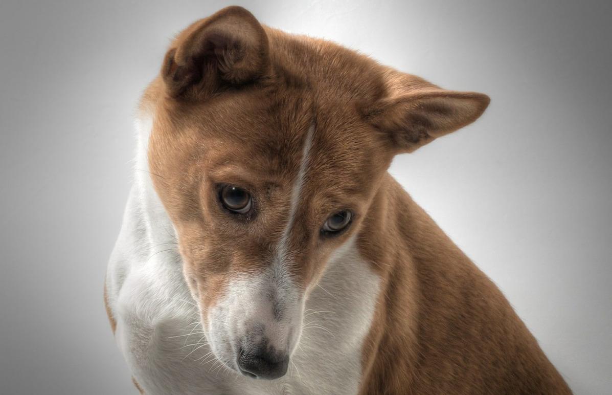 порода собак басенджи фотографии