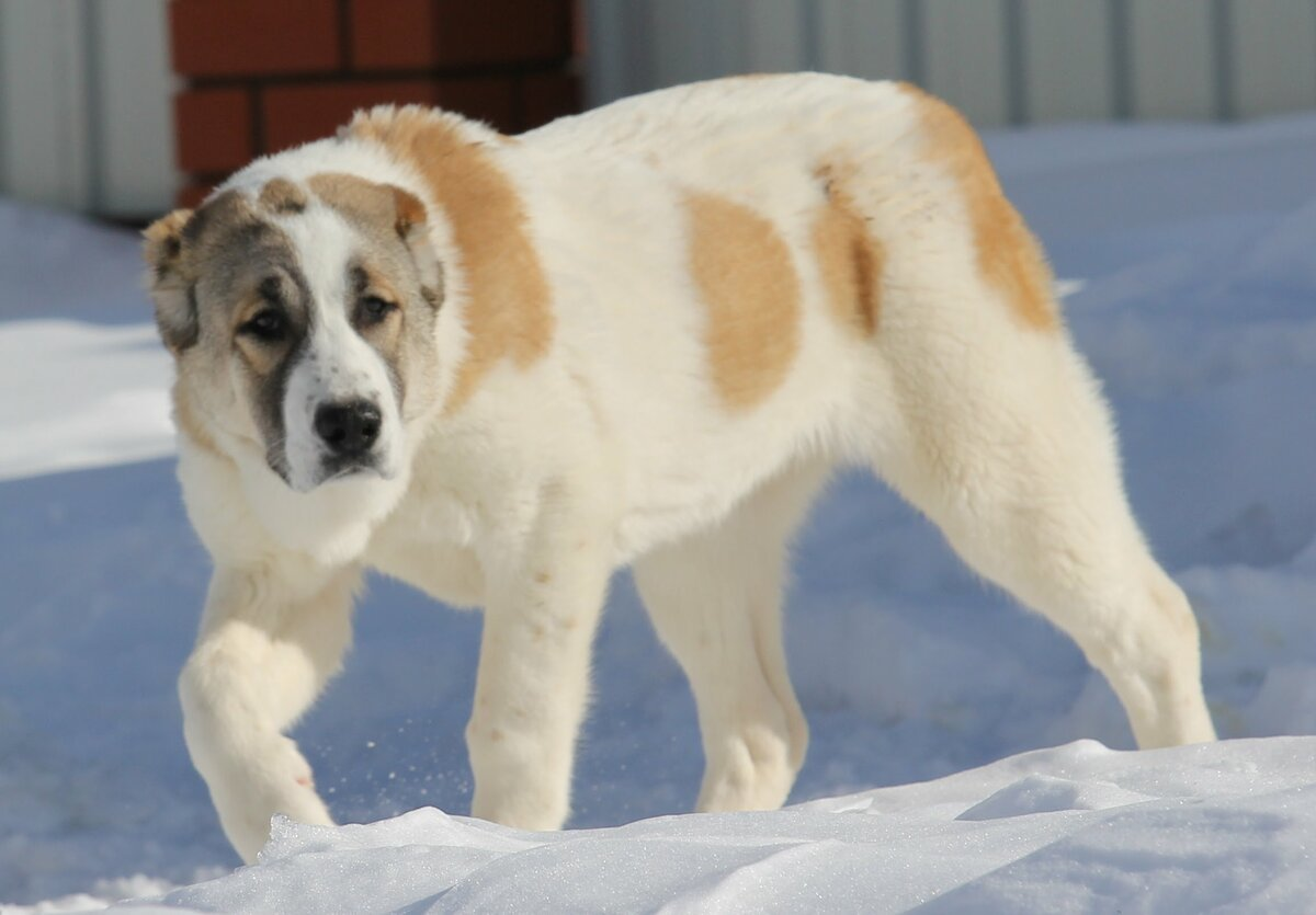 алабай идет по снегу