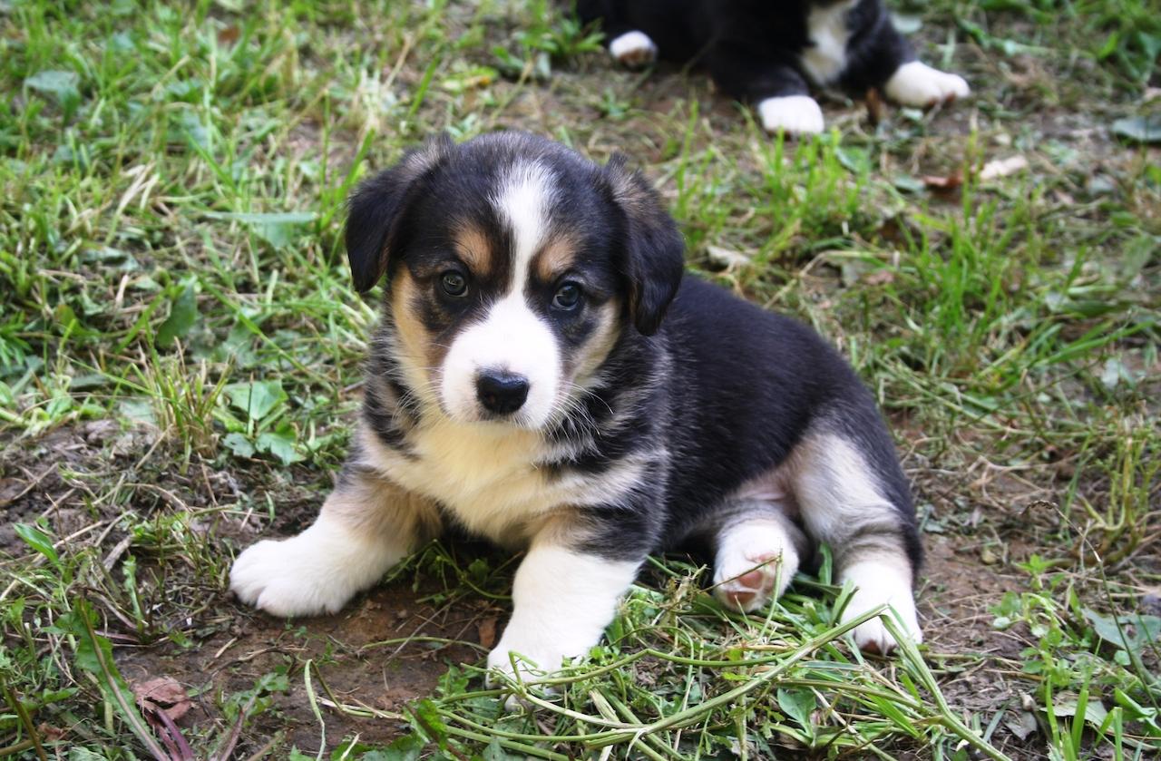Красивый щенок вельш корги кардиган фото