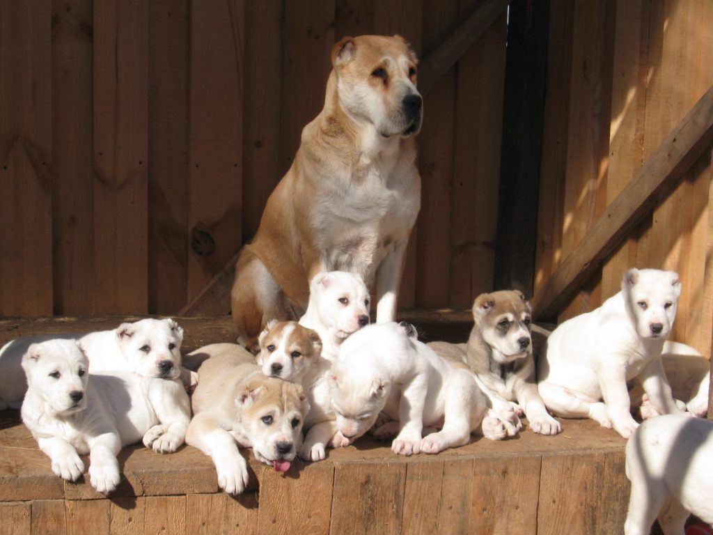 Девочка алабая со щенками