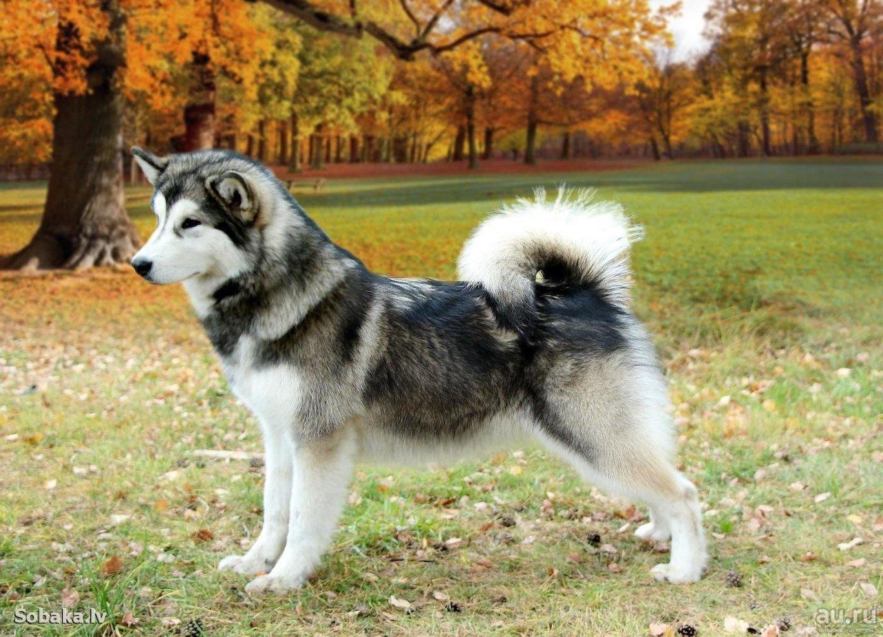 собака аляскинский маламут фото