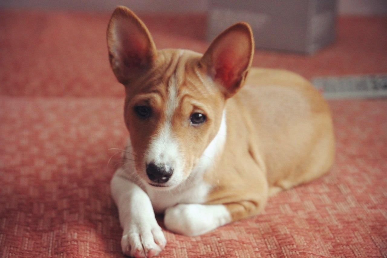 басенджи фото щенки