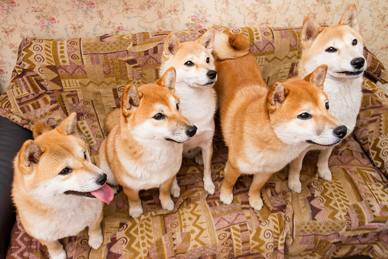 картинки собак сиба ину