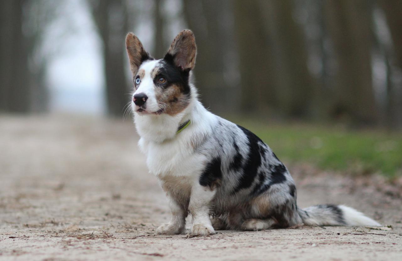 порода собак вельш корги кардиган фото