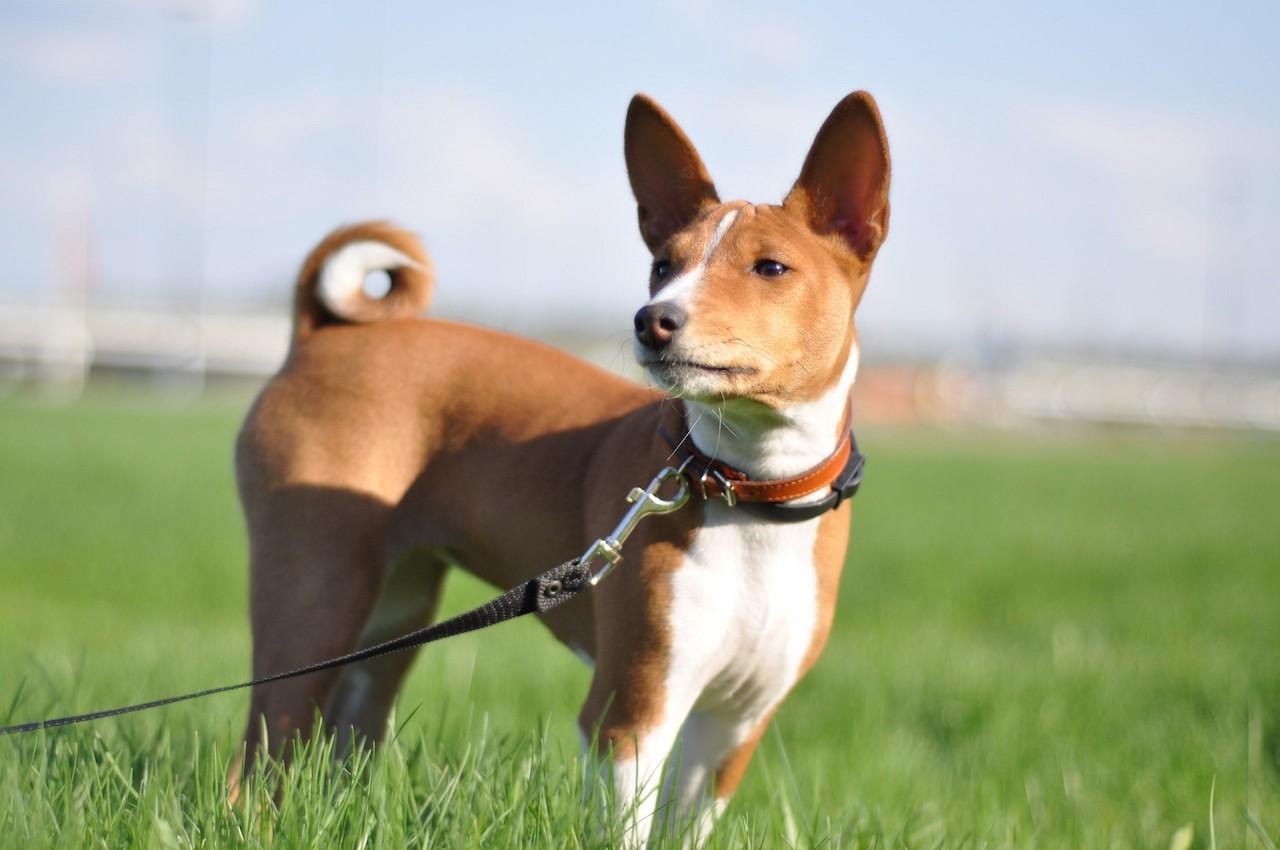 собака басенджи фото