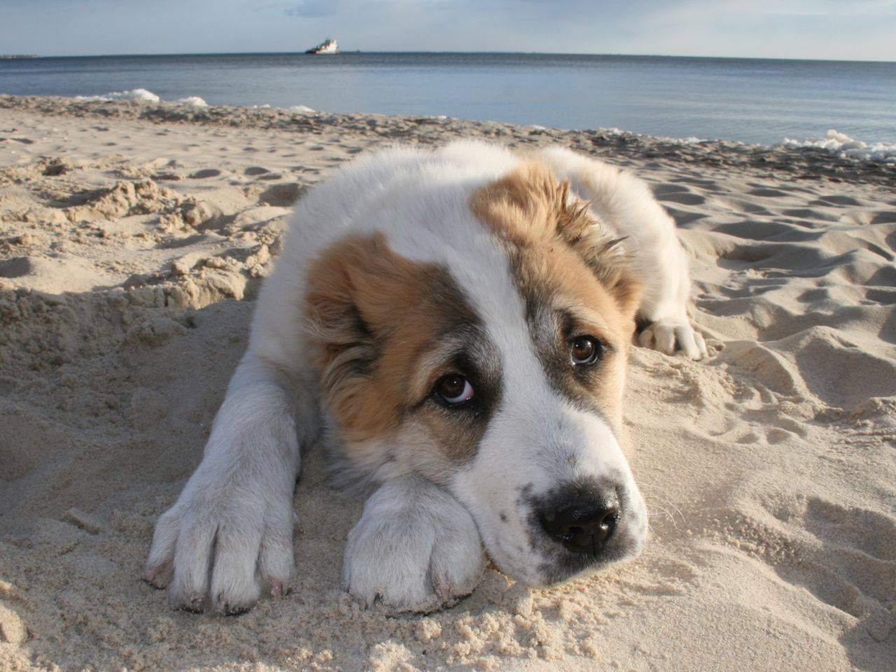 Грустный алабай лежит на берегу